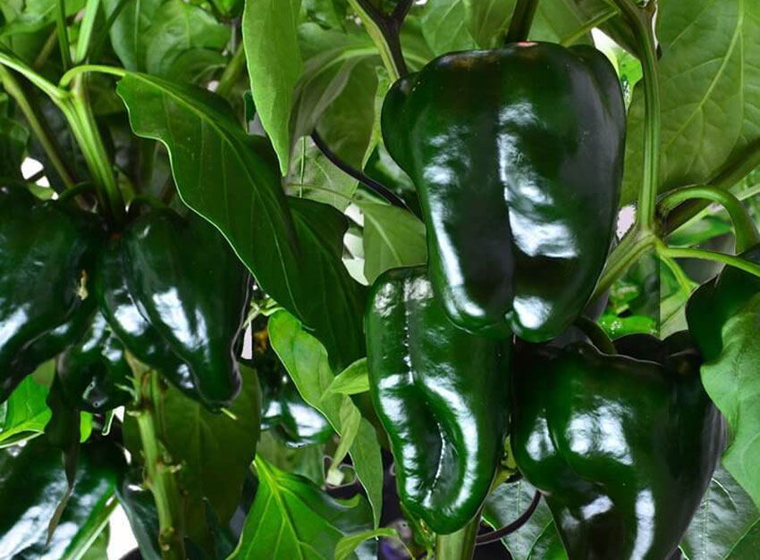 Shiny green poblano peppers on the vine.