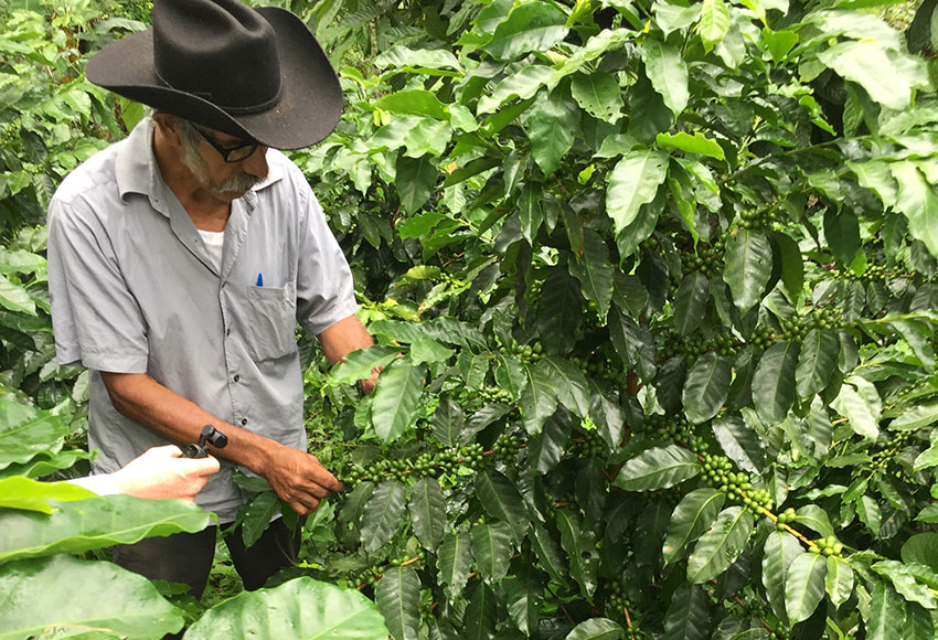 Salvador Esteban checks his coffee plants in Pluma Hidalgo.