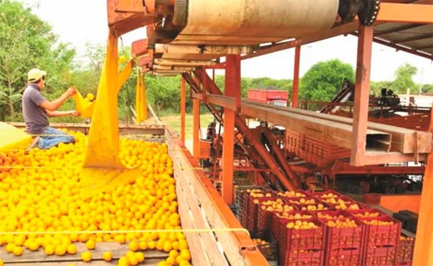 Harvesting oranges in Güemez, Tamaulipas.