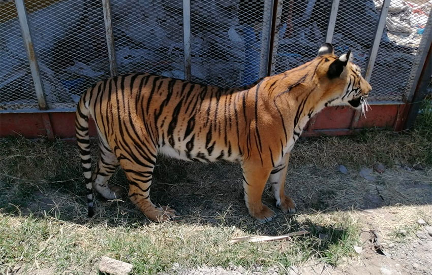 One of two Bengal tigers seized by authorities in Jalisco.