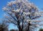 10——sm-Silk-Cotten-tree-Pochote-Ceiba