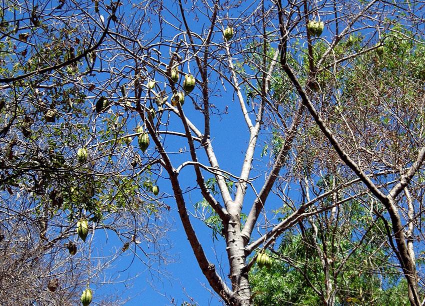 11——st-Bonete-tree