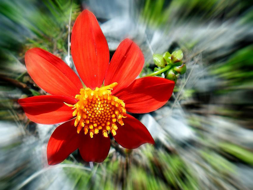 The dahlia is Mexico's national flower. Its potato-like bulb is edible.