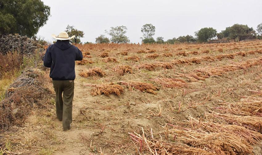 Alejo Ávila in his field of amaranth plants.