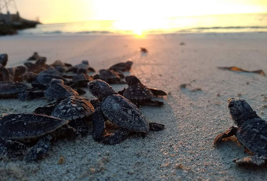 Baby turtles on their way to the sea.