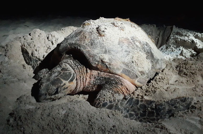 An adult turtle on the beach in Campeche.