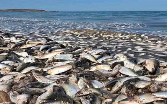 Dead sardines in Baja California Sur.
