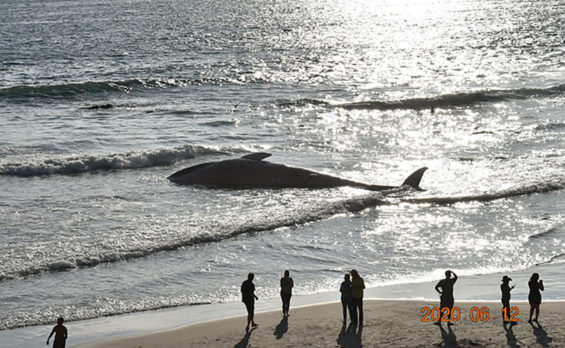 The beached whale at Rosarito on Friday.