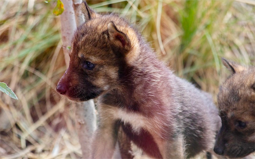 Two of the wolf pups born at the museum in Saltillo.