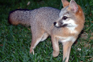 Life in rural Mexico: a baby fox goes exploring.