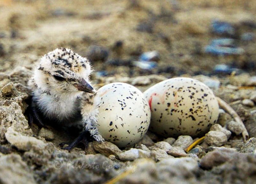 A plover chick just hours after hatching.