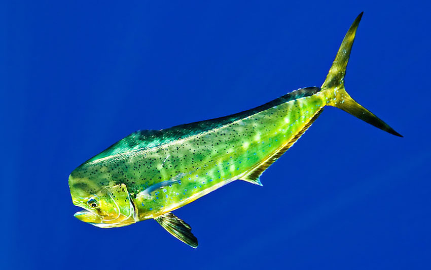 Dorado, also known as mahi-mahi or dolphinfish.