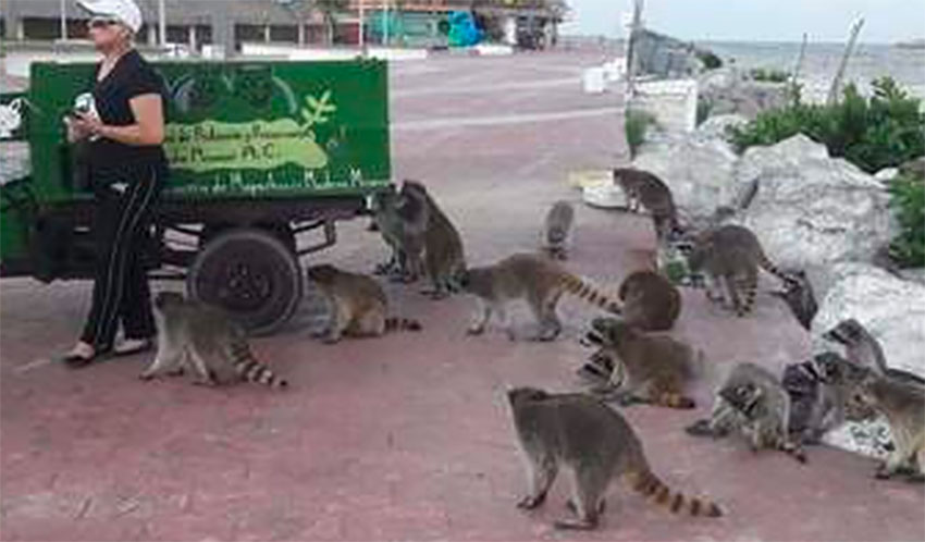 Some 200 raccoons are fed by local volunteers.