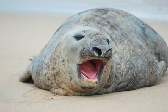 Meet Pancho, an elephant seal that has spent the last week on a Nayarit beach.