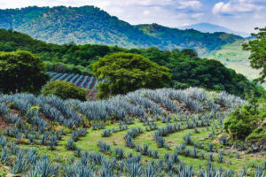 Blue agaves cover a Guachimontón.