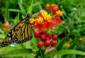 6—-f-sm-Monarch-at-butterfly-friendly-Garden