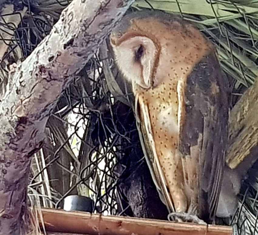 The owl with a twisted claw will soon be released.