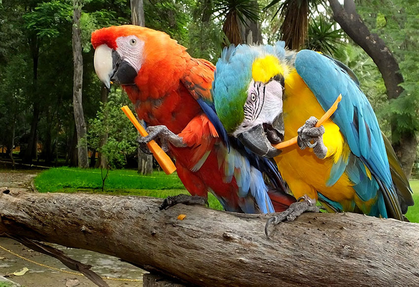 Macaws of two different species have become friends ... and mates.