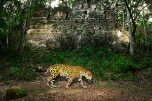 Alejandro Prieto took 100 photos of the elusive jaguar for his project Jaguar Story.