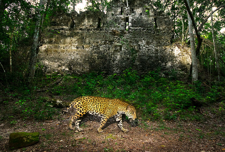 Alejandro Prieto took 100 photos of the elusive jaguar for his project Jaguar Story.