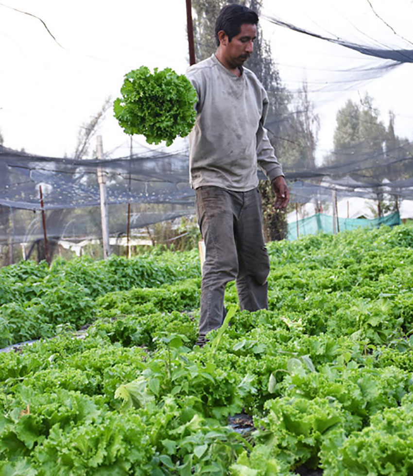 Erick Serralde harvests lettuce, but there aren't many customers.