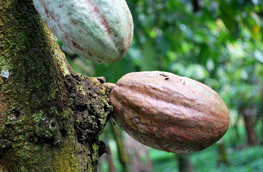 Cacao pods in Tabasco.