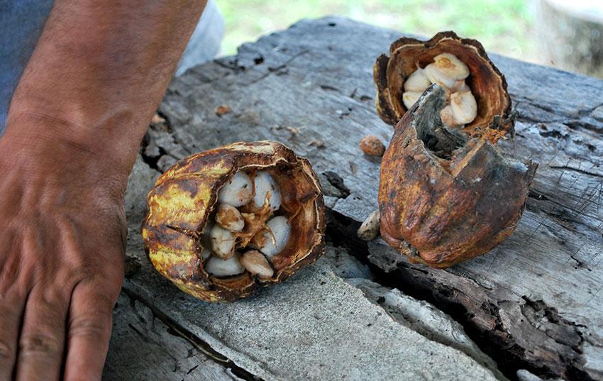 A split cacao pod at Hacienda La Chonita.
