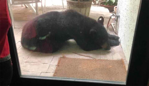 The bear found snoozing outside a home in San Pedro Garza.