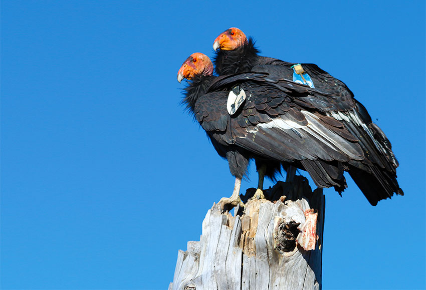 The two condors are among 43 that live in San Pedro Mártir National Park.