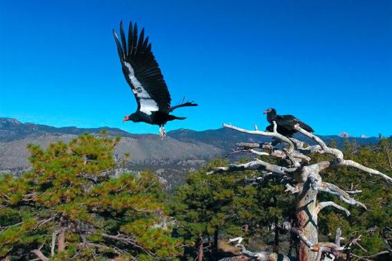 California condors in the San Pedro Mártir Sierra of Baja California.