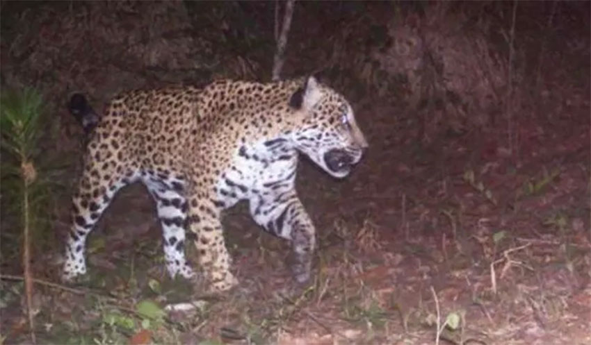 The jaguars have killed several goats and dogs.