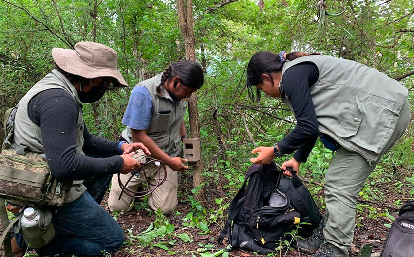 Cameras, drones and traps are being used to capture jaguars in Guerrero.