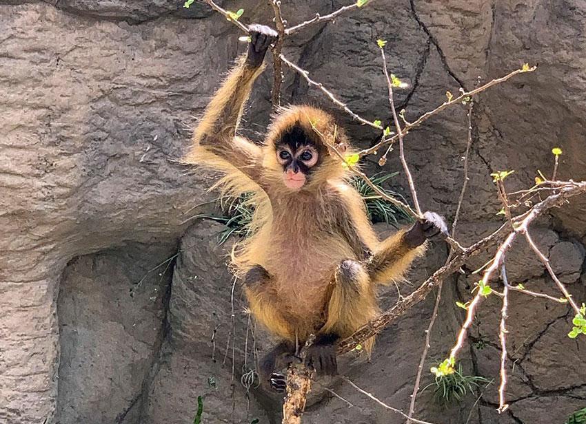 """Spider monkey """"Britney López"""""""