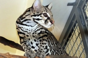 The ocelot without a name will be released at the end of the month.