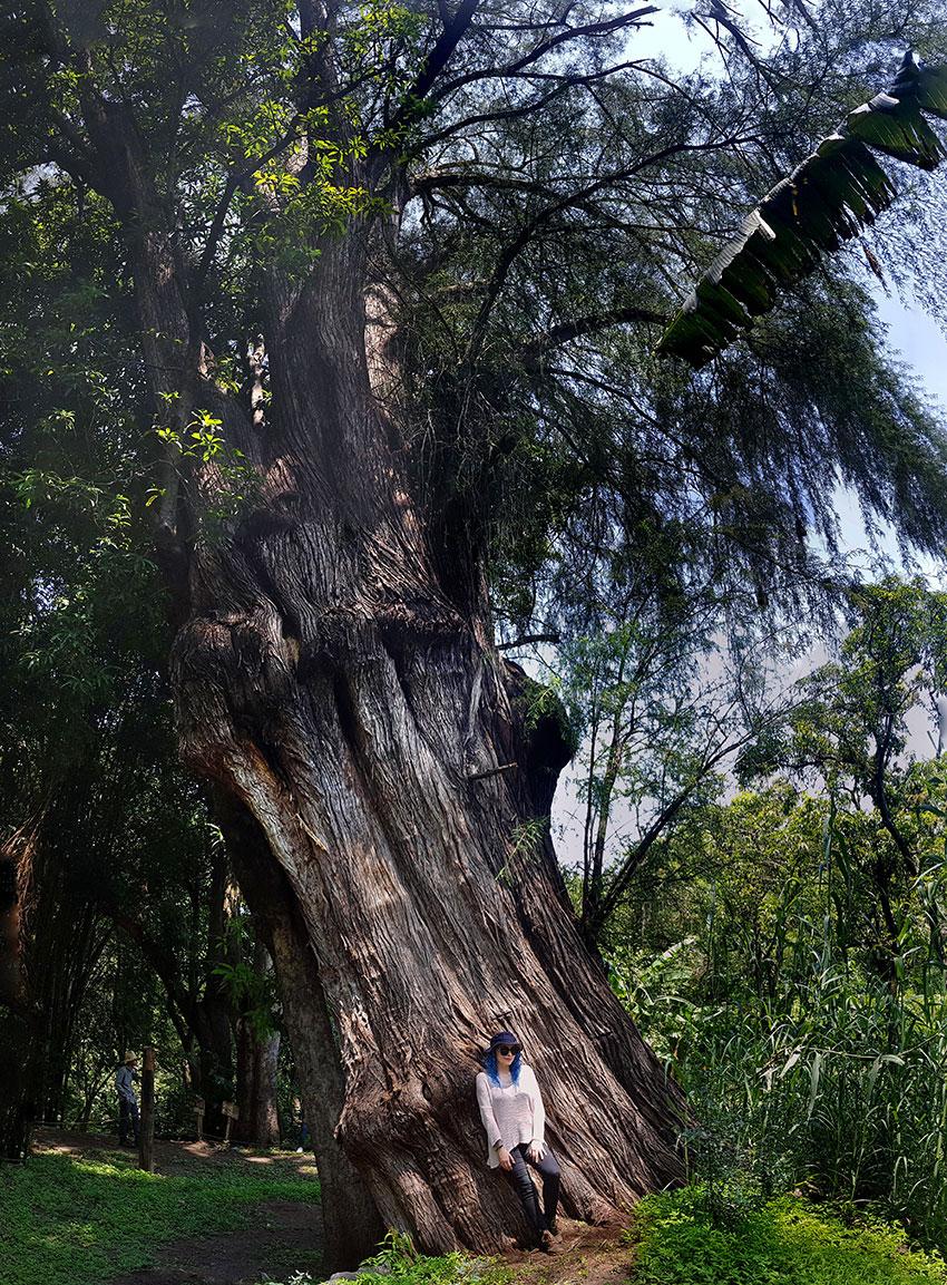 El ciprés de Montezuma o ahuehuete es originario de México y Guatemala.
