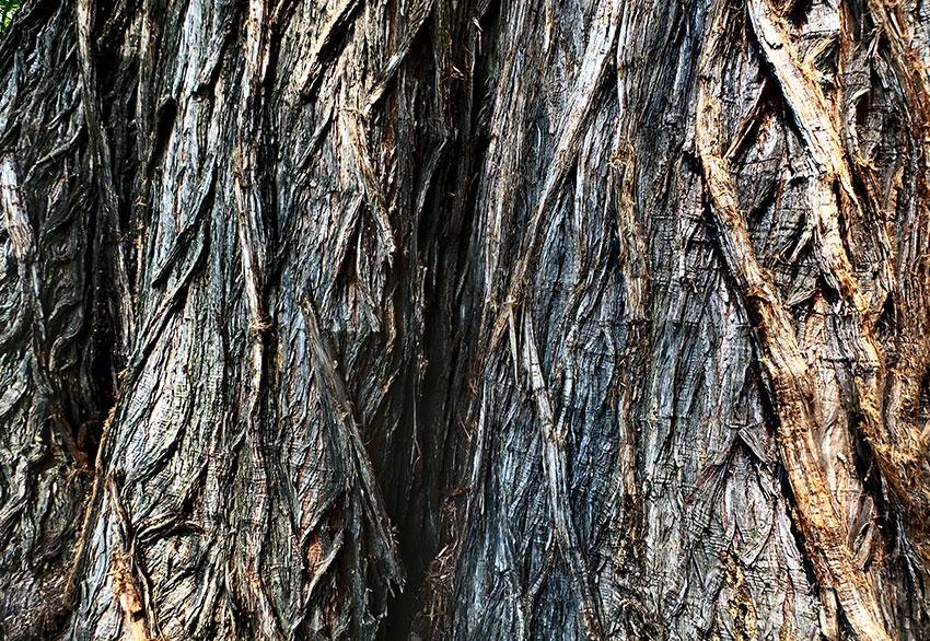 5—–e-sm-Ahuehuete-texture