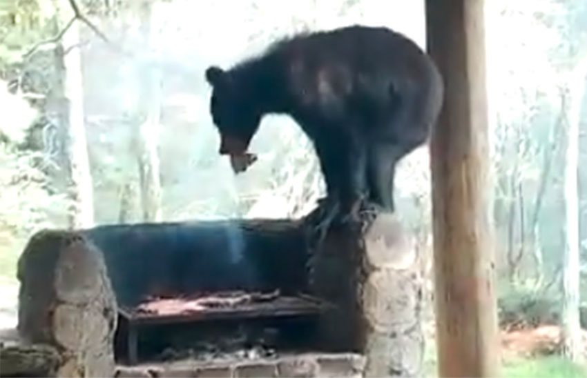 Black bear helps itself to some grilled meat.