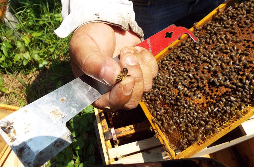 Dante Moreno and a queen bee at Abejas de Barrio.