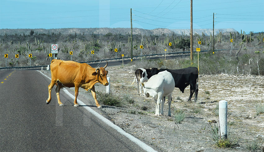 Cattle on the highway in Comondú.