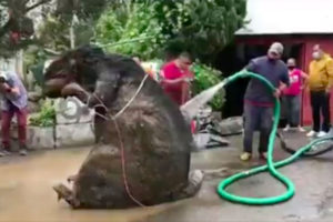 The huge rodent is washed down after it was retrieved from the drainage system.