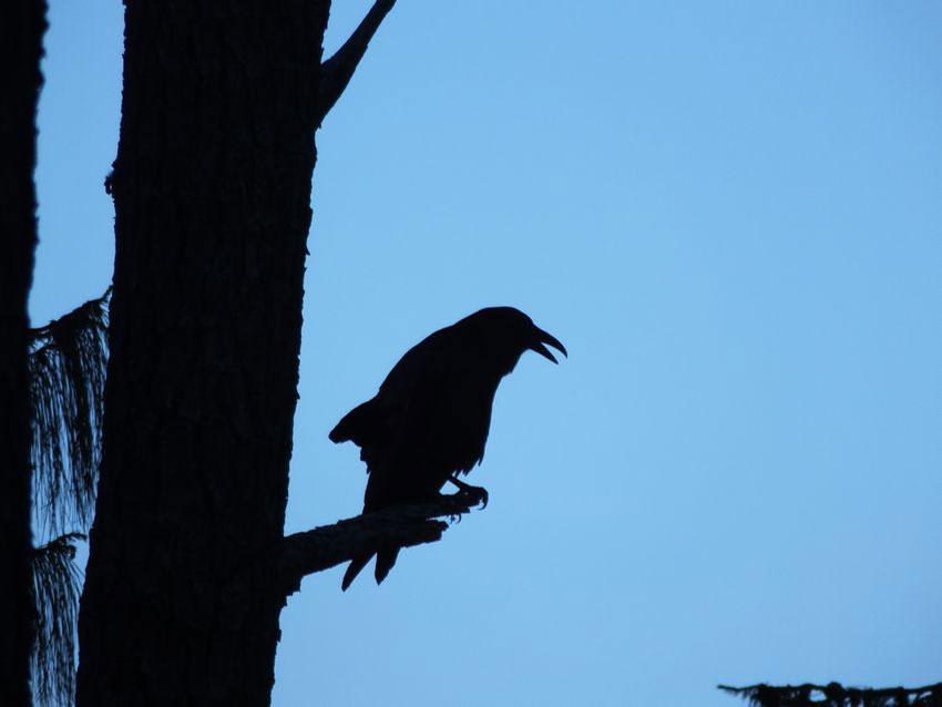 6——sm-Raven-in-a-sad-pine
