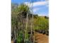 7——g1-sm-Silk-Cotton-trees