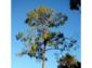 7——sm-Sad-Pine
