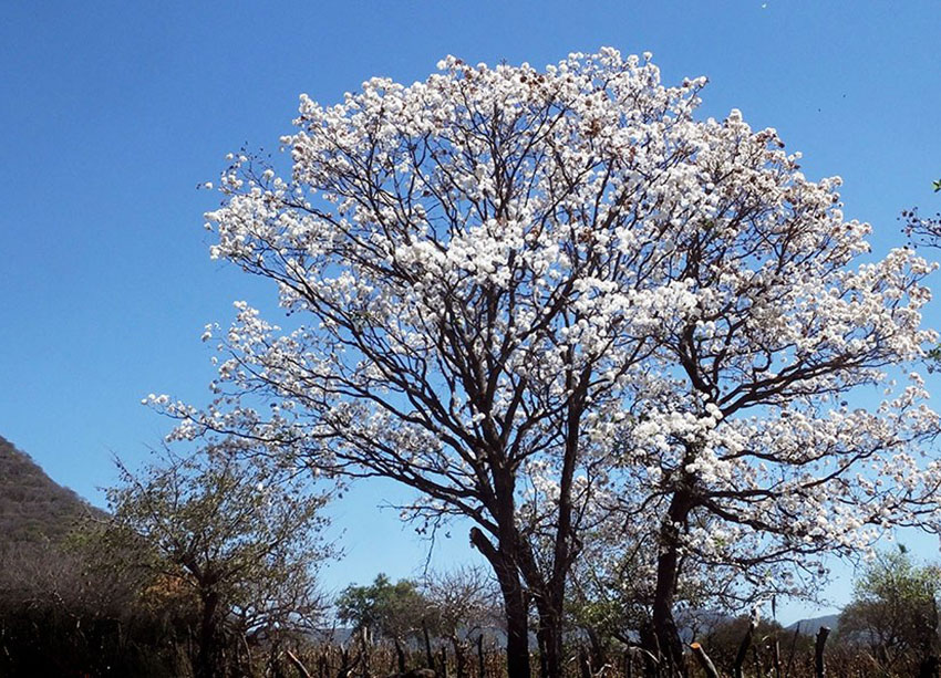 The pochote tree, part of the mallow family, is native to Costa Rica, Nicaragua, Honduras Panama, Venezuela, and Colombia