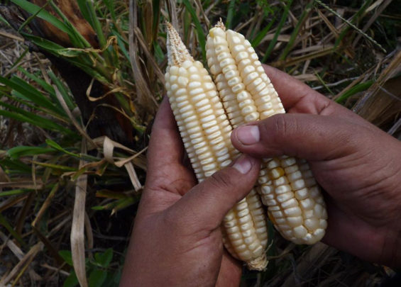 Corn from the milpa in Buctzotz, Yucatán.