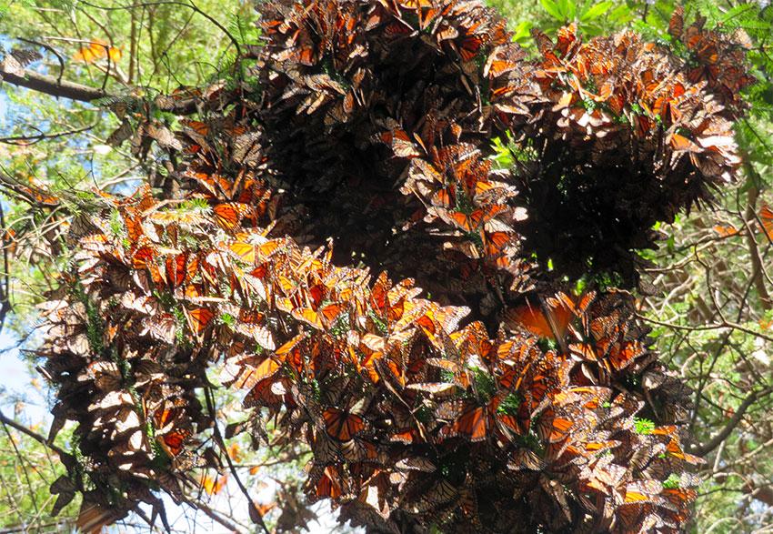 Cluster of monarch butterflies on Cerro Pelón