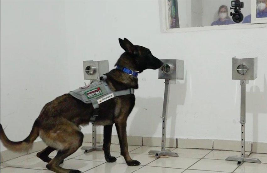 A dog in training in Hermosillo.