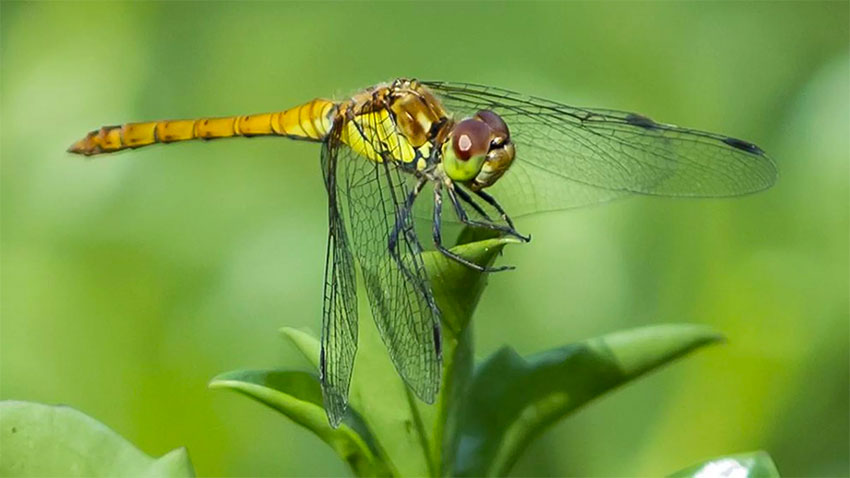 11 species of dragonflies migrate in North America.