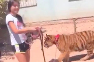 Girl walks her pet tiger in Guasave.