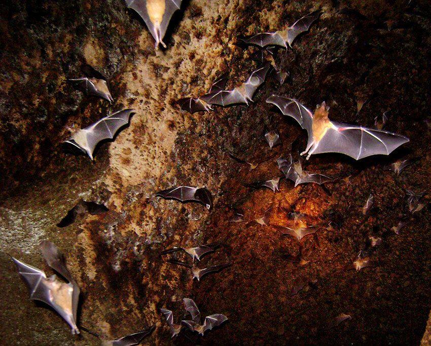 Thousands of tequila bats inhabit this cave near Guadalajara.
